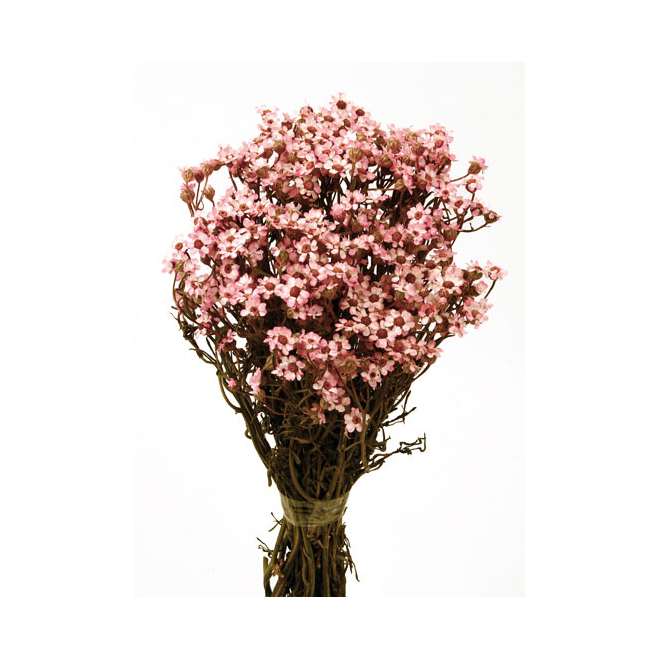 Ixodia stabilisé rose (40gr)