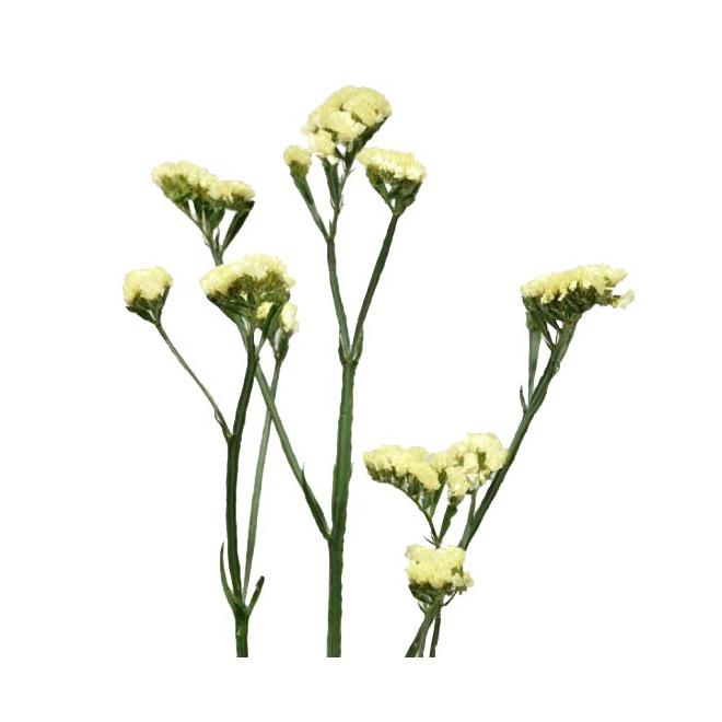 Statice naturel jaune (5 tiges)