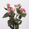 Hypéricum rose