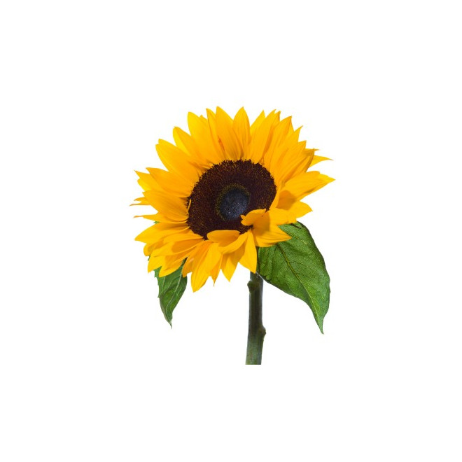 Tournesol (5 tiges)
