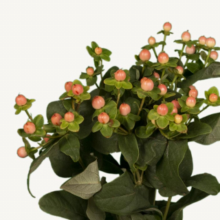 Hypéricum saumon (5 tiges) - France Fleurs