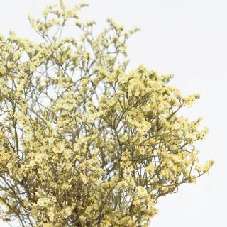 Limonium séché jaune (5 tiges)