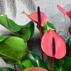 Will l'Anthurium