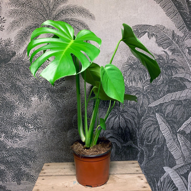 Elvis le Philo Monstera