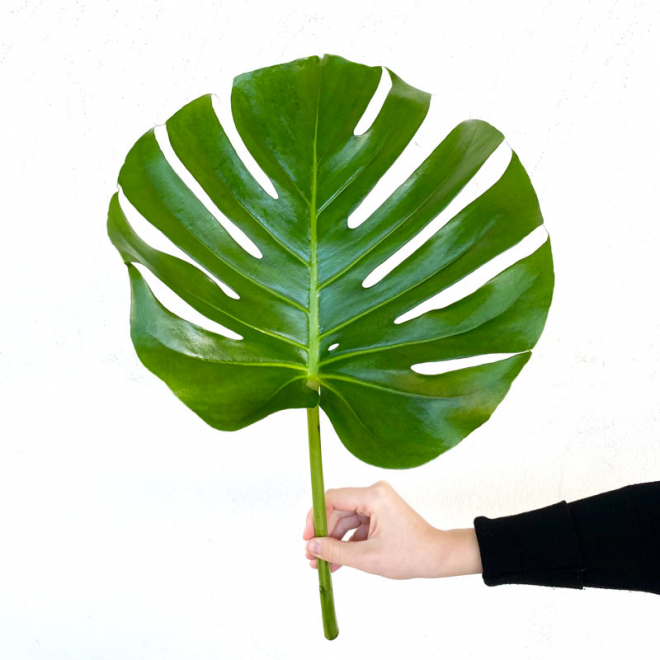 Philo Monstera