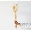Lagurus séché blanc (50gr.)