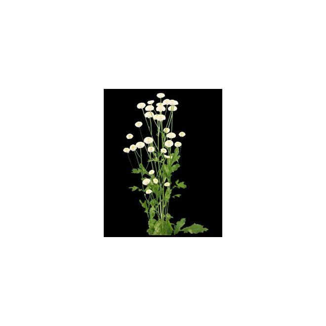 Fleur de matricaire pas chere livraison fleurs france for Fleur pas chere a planter
