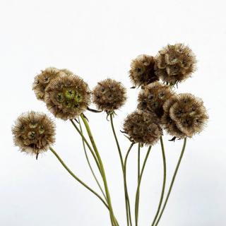 Scabieuse séchée - fleur séchée