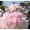 Bouquet de pivoines roses - France Fleurs