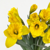 Jonquilles (10 tiges)