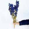 Delphinium séché bleu (env 50g)