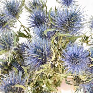 Chardon séché bleu (5 tiges)