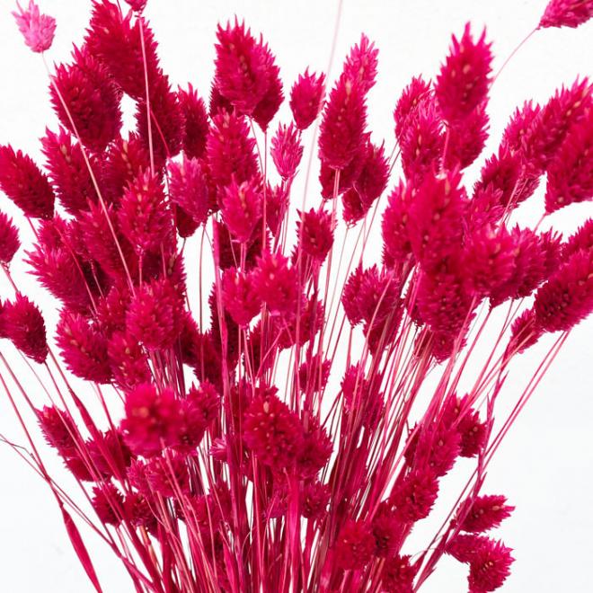 Phalaris rouge (env 100gr.)