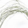 Beargrass séchée (50 tiges)
