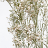 Gypsophile séché blanc (5 tiges)