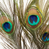 Plumes de paon (3 tiges)