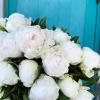 Pivoine blanche, la star des fleurs de printemps est là