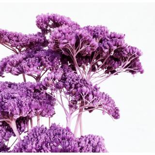 Achillée séchée lilas (10 tiges)