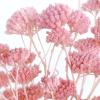 Achillée séchée rose (env 70gr.)