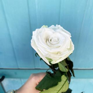 Rose éternelle blanche