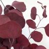 Eucalyptus Populus stabilisé rouge (env 150gr.)