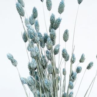 Phalaris séché bleu ciel (env 100gr.)