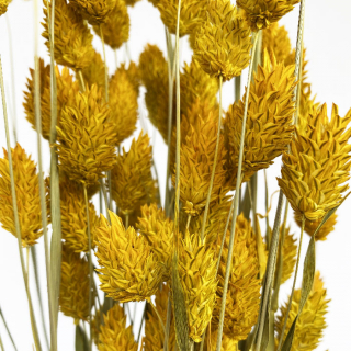 Phalaris séché jaune (env 100gr.)