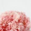 Hortensia stabilisé rose (env 60gr.)