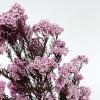 Fleur de riz stabilisée rose (env 100gr.)