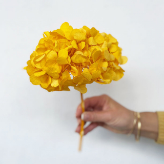 Hortensia stabilisé jaune (env 30gr.)