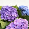 Hortensia bleu (5 tiges)