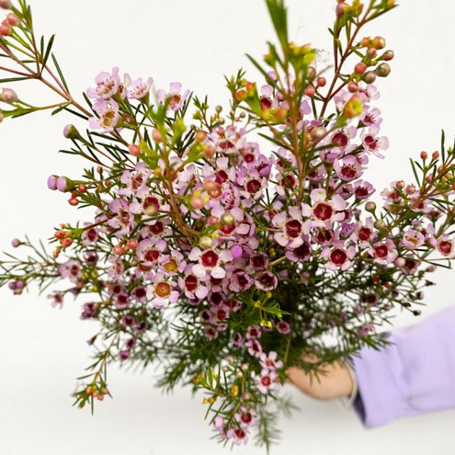 Waxflower (25 tiges)