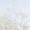 Gypsophile stabilisé blanc (env 100gr.)