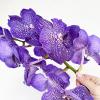 Orchidée Vanda (env 10 fleurons)