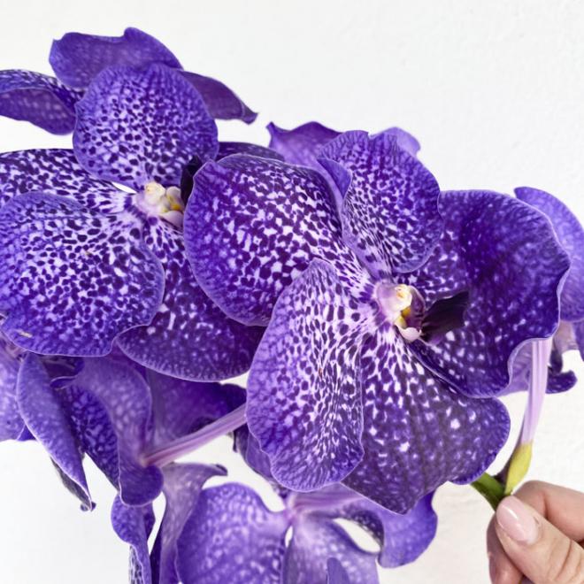 Orchidée Vanda bleue (16 fleurons)