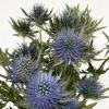 Chardon bleu - France Fleurs
