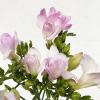 Freesia rose