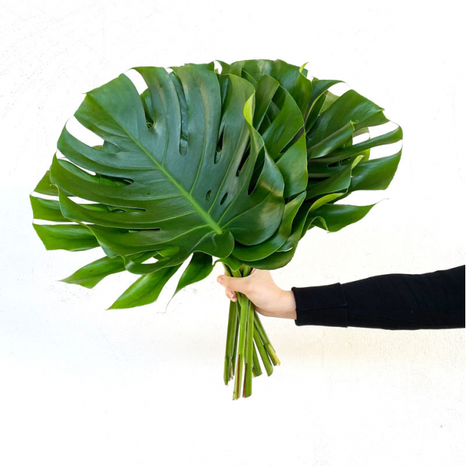 Philodendron Monstéra grand (10 tiges)