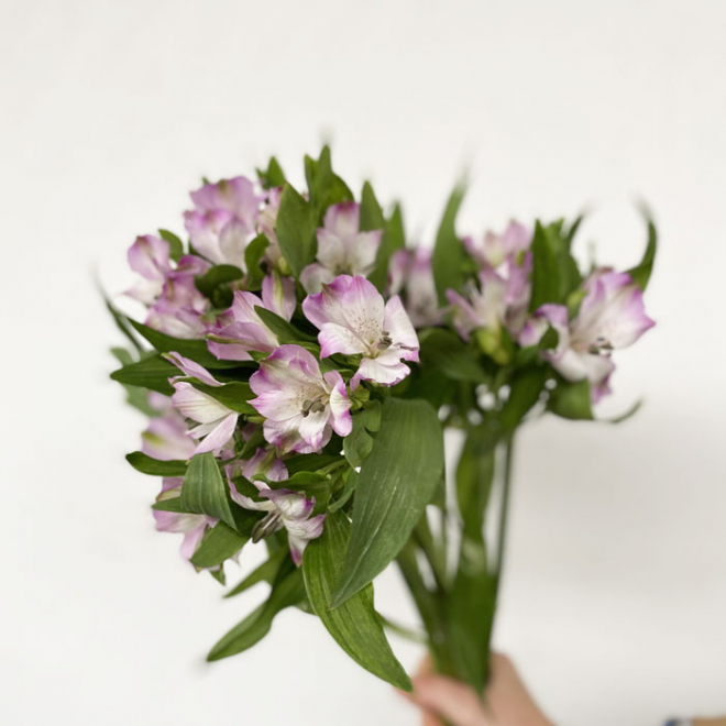 Alstroemeria violet