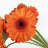 Germini orange (10 tiges) - lIvraison fleurs coupées - France Fleurs