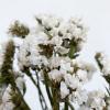 Statice séché blanc (5 tiges)