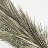 Phoenix roebelenii séché (10 tiges)