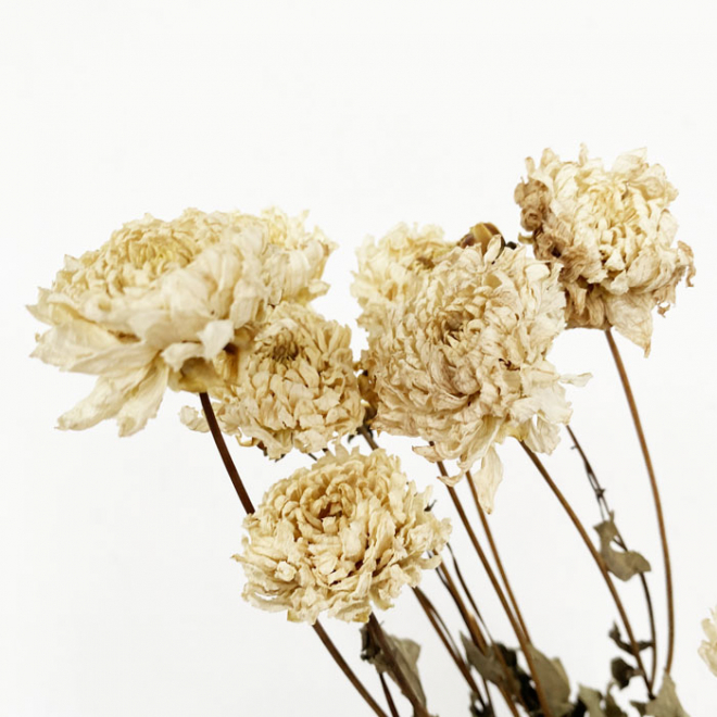Dahlia séché blanc (10 tiges)
