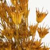 Nigelle orientale séchée jaune (env 100gr.)
