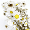Acroclinium séché blanc (env 45gr.)