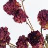 Dahlia séché rouge (5 tiges)