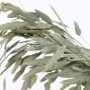 Chasmanthium séché naturel (10 tiges)