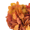 Hortensia stabilisé safran (env 30gr.)