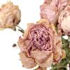 Pivoine séchée rose (10 tiges)