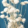 Achillée séchée blanche (env 70gr.)